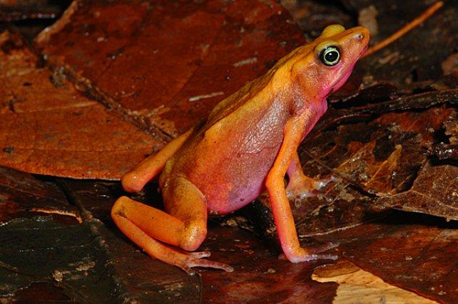 <i>Bufonidae Atelopus Flavescens </i>- Les crapauds du genre Atelopus aposématiques produisent des catécholamines, proches de l'adrénaline ; ils fréquentent les berges forestières et leurs alentours immédiats.