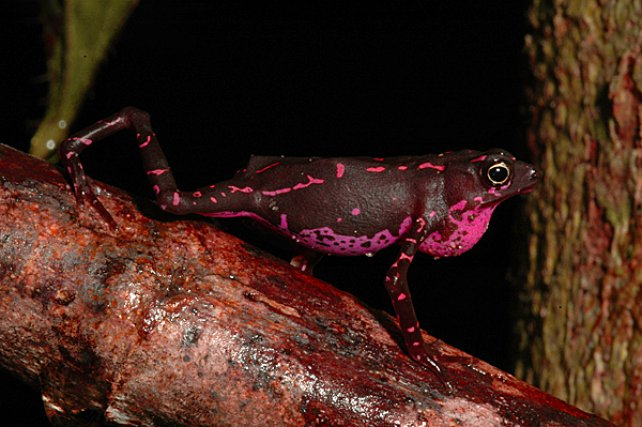 <i>Bufonidae Atelopus Spumarius Barbotini </i>- Les crapauds du genre Atelopus aposématiques produisent des catécholamines, proches de l'adrénaline ; ils fréquentent les berges forestières et leurs alentours immédiats.