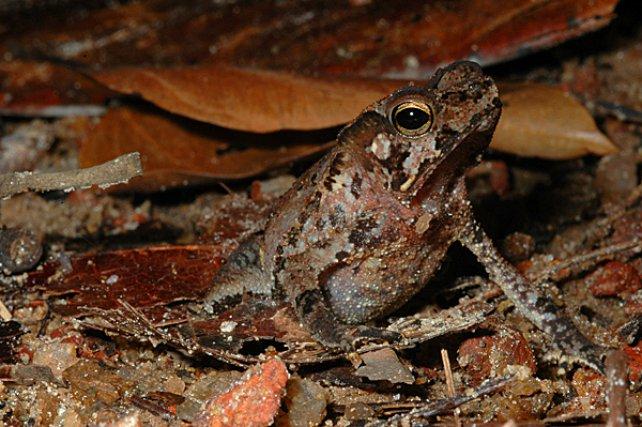 """<i>Bufonidae Rhinella Castaneotica</i> - est une espèce de petit crapaud de litière qui fait partie du groupe des """"crapauds feuilles"""". Le camouflage cryptique de ce taxon est une illustration de mimèse homochrome."""
