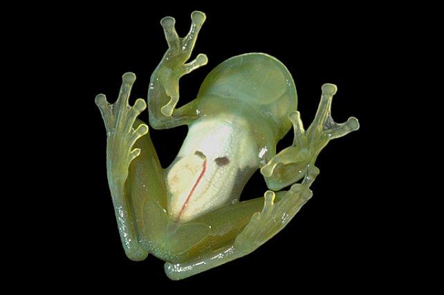 """<i>Centrolenidae Vitreorana oyampiensis </i>(face ventrale) - est une espèce de """"glass frog"""", ces petits anoures arboricoles dont la face ventrale est transparente. La face dorsale, quant à elle, présente une remarquable homochromie avec les feuilles sur lesquelles ils se déplacent."""