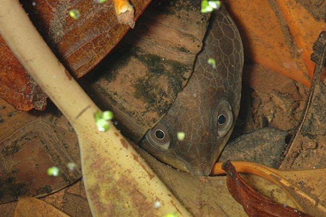 <i>Chelidae Batrachemys Nasuta</i> - La carapace des tortues sert parfois de camouflage à ces espèces, par son homochromie. Tel est le cas en Guyane, notamment, de deux espèces dulçaquicoles de la famille des Chelidae, Mesoclemmys gibba et Batrachemys nasuta qui sont très difficiles à déceler dans le milieu naturel.