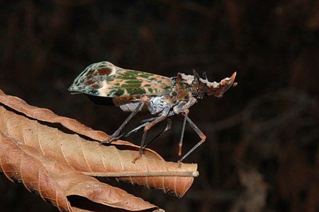 <i>Cicacidae</i> - Les fulgores sont des insectes rapportés aux punaises, présentant une fausse tête en forme de lampion Cet appendice augmente la taille de l'animal, lui conférant un air menaçant emprunté à d'autres insectes.