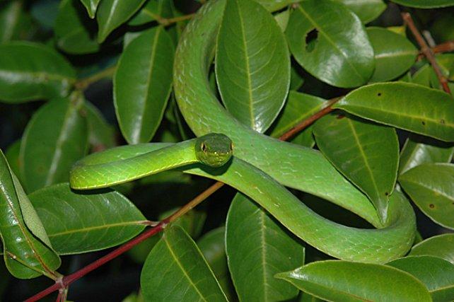 <i>Colubridae Oxybelis Fulgidus</i> - De nombreux serpents ont développé une remarquable homochromie avec leur environnement, qu'il s'agisse d'espèces terrestres comme Bothrops atrox (Viperidae) ou d'espèces arboricoles comme les serpents lianes, Oxybelis Fulgidus entre autre.