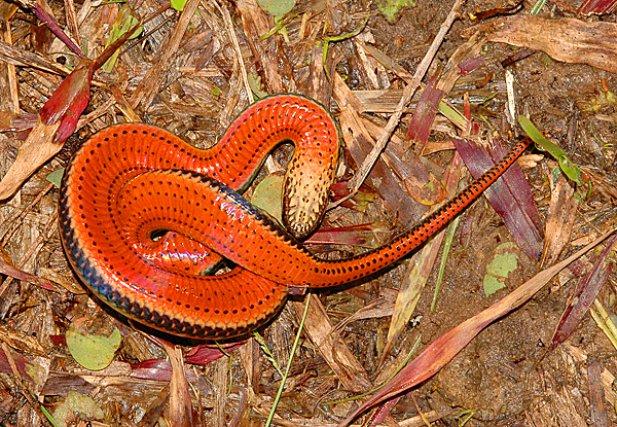 <i>Colubridae Pseudoeryx Plicatilis</i> - est un serpent inoffensif, aux mœurs aquatiques, qui a développé une étonnante stratégie de défense lorsqu'il se trouve sur la terre ferme, plus vulnérable. Bien que par nature en parfaite homochromie avec son environnement, il lui arrive néanmoins d'être effectivement parfois découvert et agressé.
