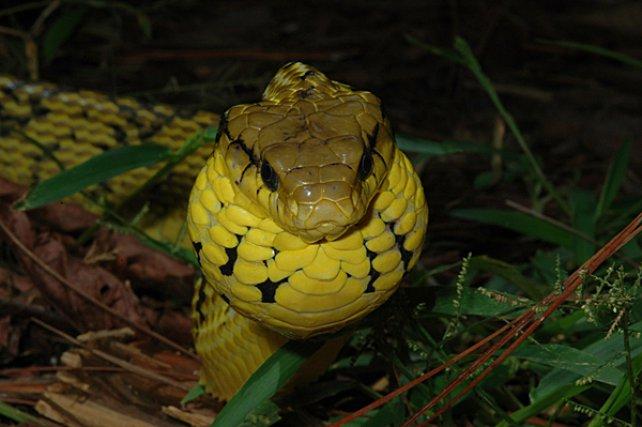 <i>Colubridae Pseutes Sulphureus</i> - est un Colubridae aglyphe de belle taille. Agressé, il fait face en soufflant et en gonflant sa gorge, qui double alors de volume, lui conférant un aspect menaçant indéniable.