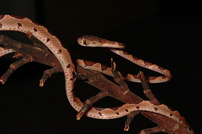 <i>Dipsadidae Imantodes Cenchoa</i> - De nombreux serpents ont développé une remarquable homochromie avec leur environnement, comme cette espèce arboricole, les serpents lianes .