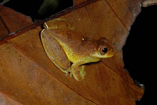 <i>Hylidae Dendropsophus Minutus</i> - En Guyane, photographié de nuit, constitue un bon exemple de coloration énigmatique.