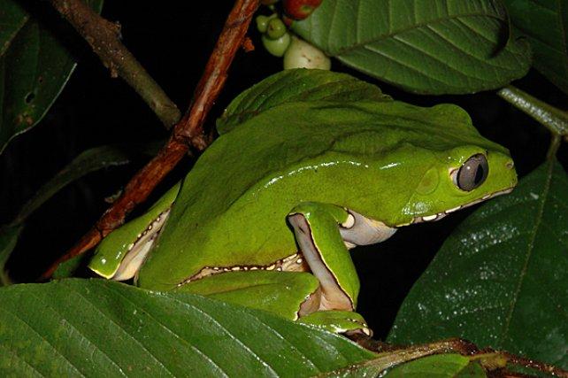 <i>Hylidae Phyllomedusa Bicolor</i> - est une grande rainette arboricole distribuée du Plateau des Guyanes au bassin amazonien. cette espèce a délaissé les couleurs aposématiques pour développer une mimèse homochrome a vec les feuillages sur lesquels elle se déplace avec grandes habilité et discrétion.