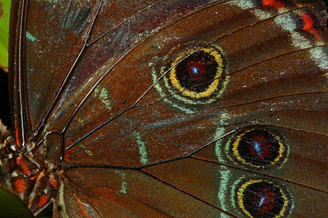 Lepidoptere - Les papillons du genre Morpho sont très fréquents en Guyane, Si l'intérieur des ailes est bleu iridescent, de couleurs métalliques, pour attirer les femelles, leur revers imitent les yeux de plusieurs oiseaux, destinés à effrayer les prédateurs.