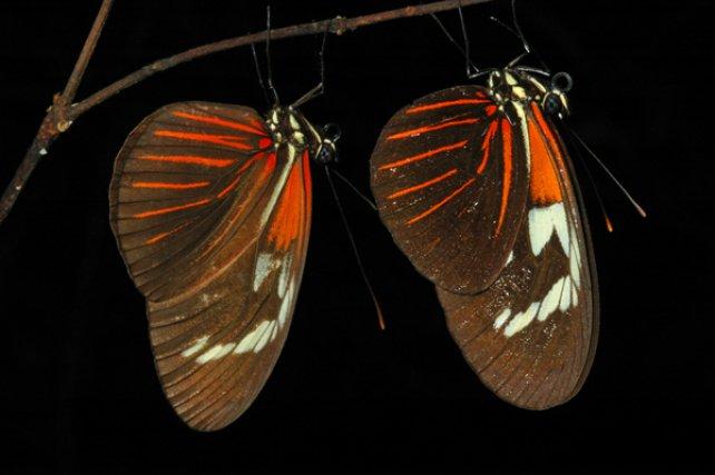 Lépidopteres - Le genre <i>Heliconius </i>regroupe des espèces de papillons sud-américaines, aux multiples couleurs et dont les larves ont des passiflores comme plantes hôtes. Toutes sont toxiques et ont convergé vers des couleurs aposématiques et des motifs similaires, ce qui correspond à la définition du mimétisme müllérien.