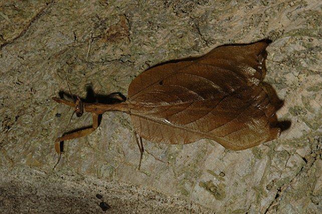 <i>Mantidae </i>- Ces insectes, reconnaissables à leurs pattes antérieures modifiées en « pattes ravisseuses », constituent effectivement de remarquables exemples de camouflages, à l'instar de certaines espèces rapportées au groupe des mantes « feuilles-mortes », qui développent l'homotypie de façon fort bluffant.