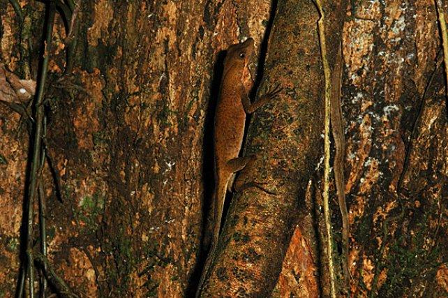 <i<Polychrotidae Anolis Nitens </i>- Les lézards de la famille des<i> Gymnophthalmidae </i>regroupent en Guyane des espèces aux moeurs très aquatiques qui fréquentent les criques rocheuses et forestières où elles sont expertes du camouflage.