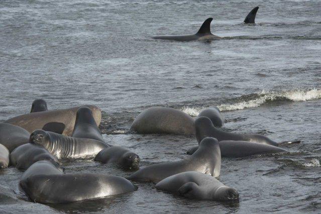 Le groupe matriarcal de la femelle C128 n'avait, jusqu'en 2014, jamais été observé interagir avec des bateaux de pêche. Lorsque les jeunes éléphants de mer commencent à partir en mer, ce groupe passe beaucoup de temps à chasser très proche des côtes. Ici, deux femelles du groupe, C069 et C229 (née en 2012) patrouillent en baie du Marin.