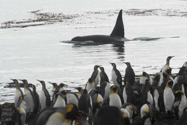 En baie du Marin les orques patrouillent très proches du rivage. Les manchots surveillent ici le mâle adulte C068,  du groupe C128, un des plus fréquemment observés des côtes de l'île de La Possession.