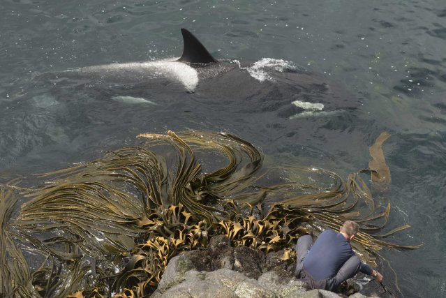 À la Piscine, la profondeur est suffisante pour que les orques passent très proche des rochers (ici la femelle C128). Avec un appareil photo étanche et une canne, des images subaquatiques sont facilement réalisables.
