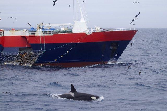 Les orques sont capables  de se surpasser pour se nourrir des légines pêchées par les palangriers. Une orque suivie par satellite s'est déplacée de plus de 300 kilomètres en moins de 50 heures pour suivre un bateau. En plongeant régulièrement au-delà de 750 mètres et en dépassant les 1 000 mètres, elle a également atteint des profondeurs records pour cette espèce. Ici, la femelle C138, interagit avec un bateau.  Son groupe est observé autant depuis l'île de La Possession que derrière les bateaux de pêche.