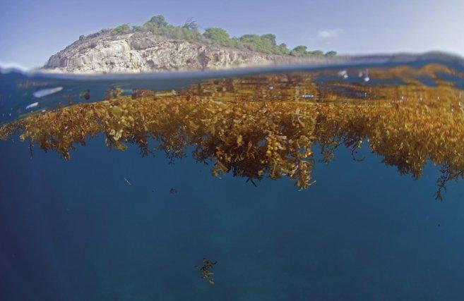 Des algues srgasses sur la pointe Zozio. Les Saintes