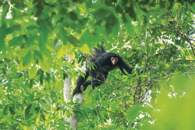 Le singe Kwata (Ateles paniscus) souffre de la fragmentation de la forêt.