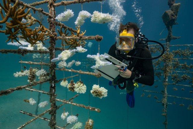 Le biologiste Yann Lacube du CRIOBE (Centre de Recherche Insulaire et Observatoire de l'Environnement ) effectue des relevés sur les arbres à coraux. Il travaille sur le programme de Laetitia Hedouin sur les coraux résistants au réchauffement climatique. Programme réalisé en collaboration avec le DR Mary Hagedorn du Smithsonian Institut. Il observe sur ces arbres que certains coraux ont blanchi, d'autres sont morts et d'autres ne semblent pas avoitr été impactés par le stress thermique.