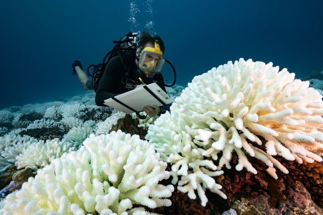 Scientifique du CRIOBE faisant des relevés sur un Pocillopora en phase de blanchissement dans le lagon de Moorea en Polynésie Française.