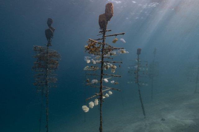 Au CRIOBE (Centre de Recherche Insulaire et Observatoire de l'Environnement ) ils effectuent des relevés sur les arbres à coraux. C'est un programme de Laetitia Hedouin sur les coraux résistants au réchauffement climatique. Programme réalisé en collaboration avec le DR Mary Hagedorn du Smithsonian Institut. Ils observent sur ces arbres que certains coraux ont blanchi, d'autres sont morts et d'autres ne semblent pas avoitr été impactés par le stress thermique.