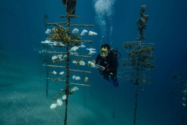 Le biologiste Yann Lacube du CRIOBE (Centre de Recherche Insulaire et Observatoire de l'Environnement ) effectue des relevés sur les arbres à coraux. Il travaille sur le programme de Laetitia Hedouin sur les coraux resistants au rechauffement climatique. Programme réalisé en collaboration avec le DR Mary Hagedorn du Smithsonian Institut. Il observe sur ces arbres que certains coraux ont blanchi, d'autres sont morts et d'autres ne semblent pas avoir été impactés par le stress thermique.