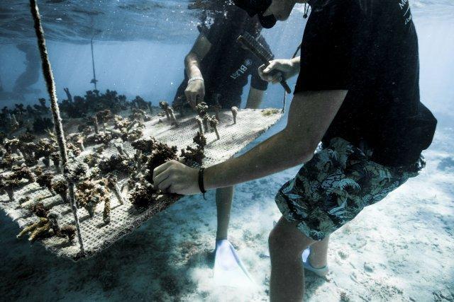 Bouture de coraux abimés.