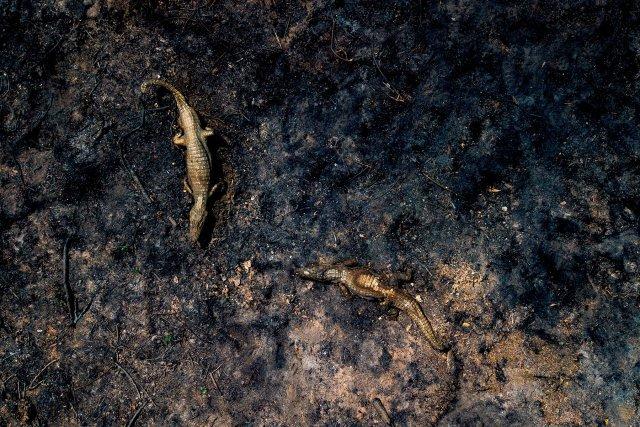 Carcasses de caïmans dans la zone brûlée du Pantanal le 24septembre 2020 à Poconé au Brésil. Le Pantanal est la plus grande zone humide et la plus grande savane inondée du monde. Depuis début septembre, plus de 5000feux ont été recensés, essentiellement pour transformer la région en pâturage.