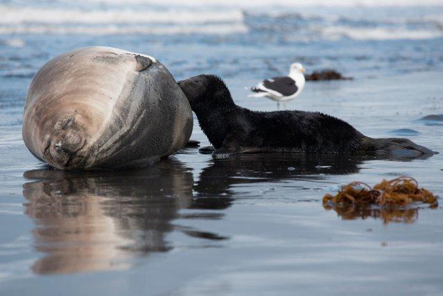 A leur retour pour la mise bas, les femelles ont beaucoup de réserves, notamment de graisse. Celles-ci, transmises au jeune sous forme de lait très riche, disparaissent au fil des semaines de lactation.