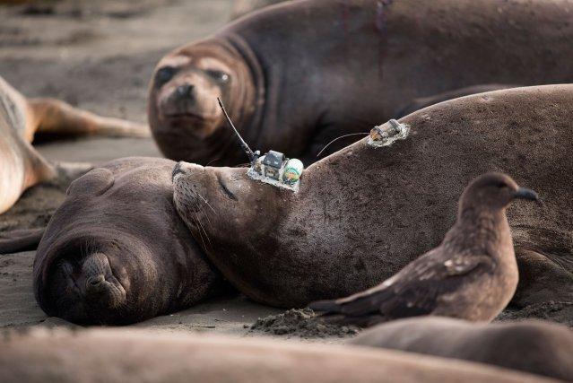 Pour éviter la perte ou la déterioration des balises, les femelles sont équipées en fin de lactation, juste avant leur départ.