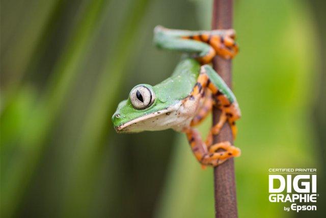 <br/><br/><br/><br/><br/><br/><br/><br/><br/><span class='ubuntu moyen'><b>A la découverte des amphibiens et reptiles de Guyane avec la collection de Guillaume Feuillet.</b></br> <a href='http://www.une-saison-en-guyane.com/digigraphie/photographes/guillaume-feuillet/'>Accéder à la page du photographe
