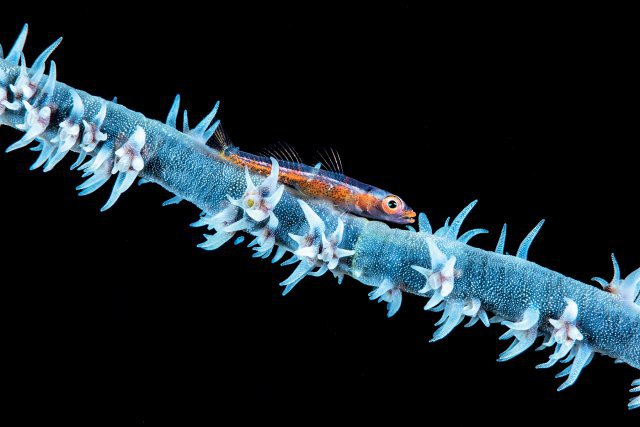 Un corail fouet ( de type antipathaire) et son gobie photographié à une profondeur de 76 mètres.Est-ce les memes spécimens que l'on retrouve dans les faibles profondeurs?