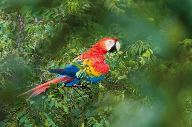 Chez les oiseaux, il existe deux grands modes de fabrication de la couleur : les pigments et les couleurs structurales. Les pigments sont des molécules qui absorbent et transmettent certaines longueurs d'onde de la lumière. La couleur dépend alors de la structure moléculaire du pigment et de sa concentration. Les pigments sont très variés. Certains, comme la mélanine, se retrouvent chez toutes les espèces. D'autres sont plus rares et restreints à quelques familles, comme les psittacofulvines qui n'existent que chez les Psittacidées, la famille des perroquets (par exemple à gauche le ara rouge, <i>Ara macao</i>).