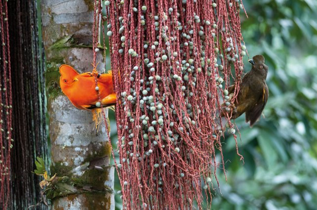 Le Coq-de-roche<i> (Rupicola rupicola)</i> illustre bien la nature et le rôle des colorations de certaines espèces. Le mâle (à gauche) fréquente des sites de parades (appelés leks), et a développé des couleurs, formes et comportements très voyants pour attirer les femelles. A droite, la femelle est terne et discrète, de la même couleur que les sites de nidification qu'elle est seule à fréquenter.