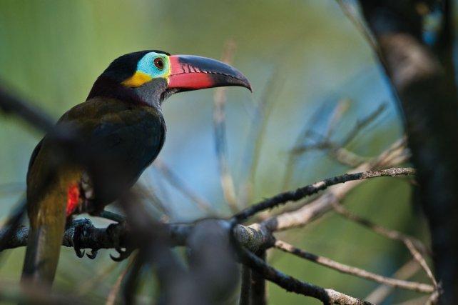 Chez le toucanet koulik <i>(Selenidera culik)<i>, les signaux colorés sont surtout présents sur la tête et le bec. La plus grande partie du corps, notamment le dos (la partie la plus visible par les prédateurs), est d'une couleur discrète.
