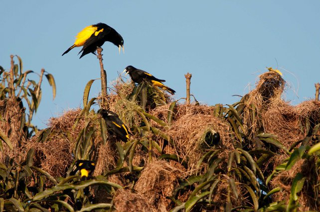 Colonie très active de cassiques cul-jaune. Un mâle en chant de parade, un mâle bec ouvert fait probablement un chant court. Deux femelles terminent leur nid avec des fibres vertes.