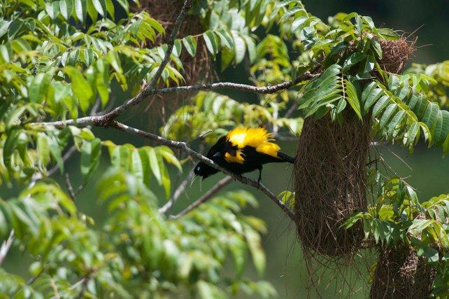 Mâle de cassique cul-jaune (Cacicus cela) en chant de parade à côté d'un nid.