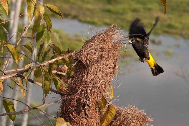 Femelle de cassique cul-jaune en train de voler une fibre dans un nid voisin.