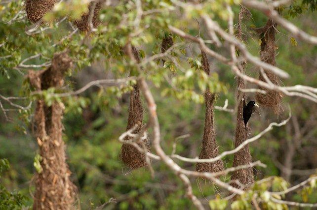 Femelle de cassique huppé (Psarocolius decumanus) à l'entrée de son nid, au milieu de la colonie.