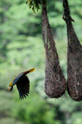 Femelle de cassique vert quittant son nid pour l'approvisionner.