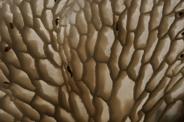 <i>Polyporus tenuiculus.  </i>