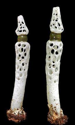 <i>Staheliomyces cinctus.  </i>
