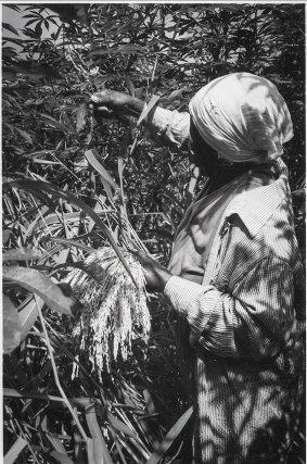 Récolte manuelle du riz pluvial. Ce riz cultivé localement est nommé nenge alisi, contrairement au riz du commerce (agina).