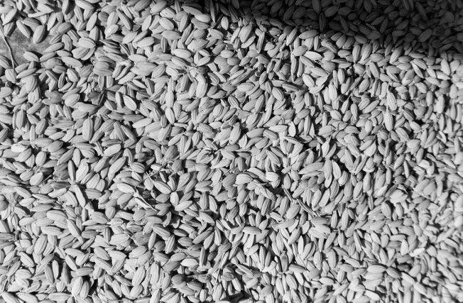 Séchage du riz.
