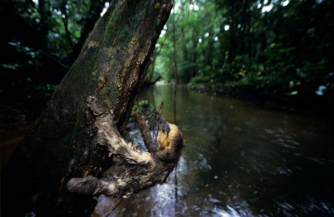 Paresseux tridactyle (Ay),  <i>Bradypus tridactylus</i>, grimpant le long d'un arbre, au dessus d'une crique.