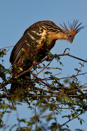 Hoazin huppé, ou sassa,  <i>Opisthocomus hoazin -</i> sur un arbuste. Marais de Kaw. Guyane.
