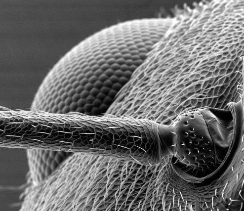 Œil (second plan) et antenne (premier plan) de fourmi  - «Fronmi ta coco». Grossissement x 800. ©L3MA