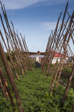 Les nouveaux arrivants cultivent des champs autour de Paramaribo. Avril 2013.