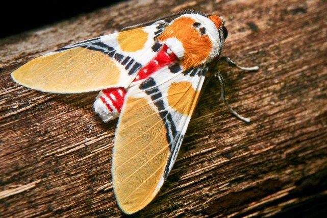 Arctiidae. Cette famille de papillon arbore souvent de vives couleurs très voyantes pour avertir les prédateurs qu'ils ne sont pas comestibles, leur chenille s'étant nourri de plantes toxiques.