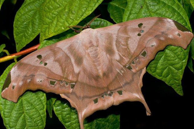Saturniidae. Parmi les géants des papillons de nuit.